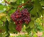 Resveratrol Red Grapes