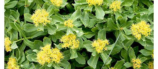 Benefits of the Adaptogen Rhodiola as a Vitality Tonic