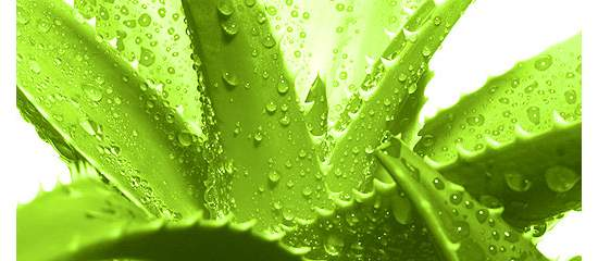 Aloe Vera as Food - Health Benefits Beyond Ointment