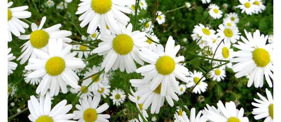 Multiple Health Benefits of Chamomile