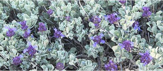 Sage is a Wise Addition for Health, Memory, more.